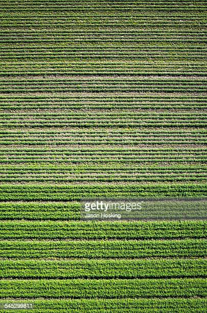 Aerial view of carrots growing