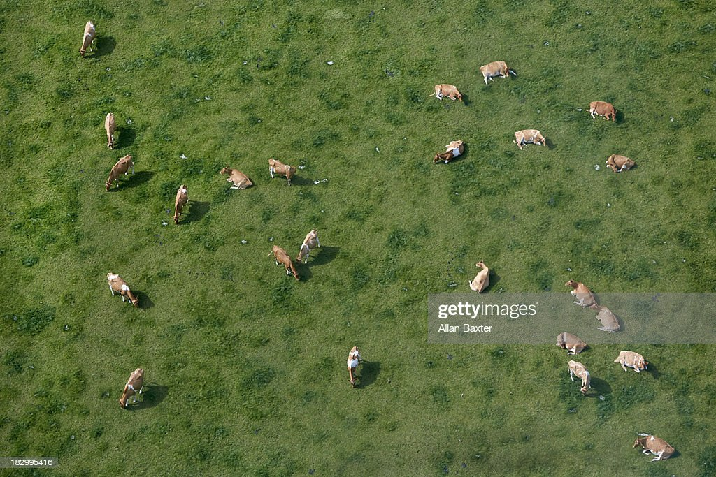 Aerial view of cows grazing : Stock Photo