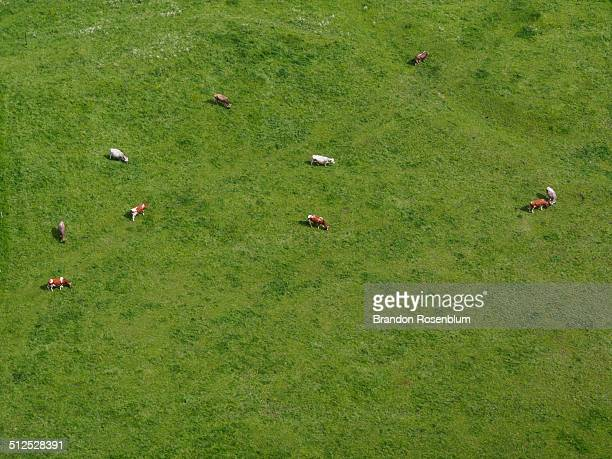 Aerial view of cows grazing