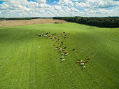 aerial view of cows in a herd on a green pasture with cloudy blue sky in the summer