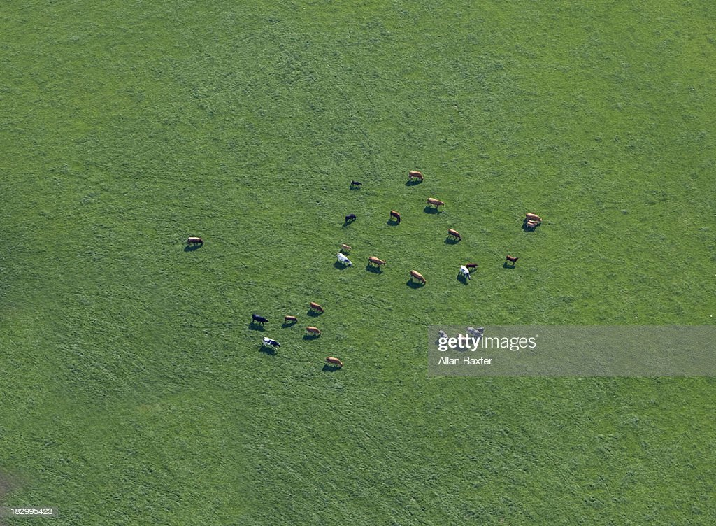 Aerial view of cows in field : Stock Photo
