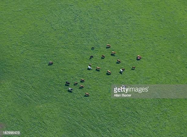 Aerial view of cows in field