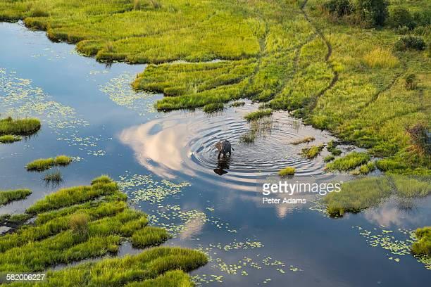 Aerial view of elephant, Okavango Delta, Botswana