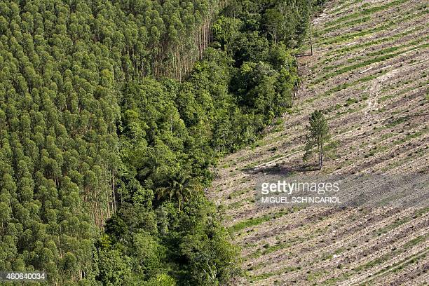 Aerial view of eucalyptus by an agriculture field in Sao Paulo state Brazil on December 17 2014 AFP PHOTO / Miguel SCHINCARIOL