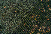 Aerial view of coniferous forest plantations. Rows of spruces and pines at autumn