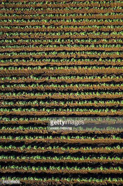 Aerial view of potatoes growing