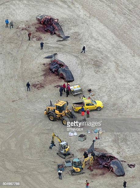 Aerial view of spermwhales also know as cachalots on the island of Texel The Netherlands on January 14 2016 Five spermwhales were beached on the...