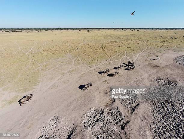 Aerial View of Wildebeest, Khama Rhino Reserve