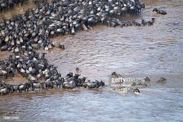 Aerial view of wildebeest (Connochaetes taurinus) trapped by high cliffs while crossing the Mara River, Masai Mara National Reserve, Kenya, Africa