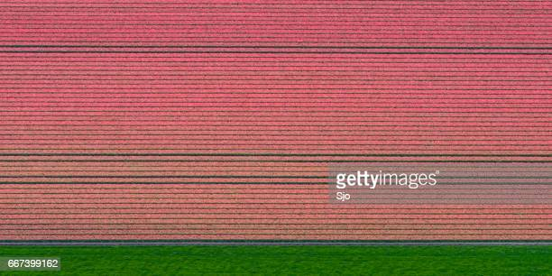 Aerial view on fields of pink tulip flowers growing in spring in Holland
