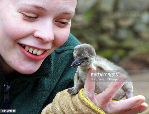 Aero the Humboldt penguin chick born on Monday at Chester Zoo pictured with Karen Neech Parrot and Penguin keeper