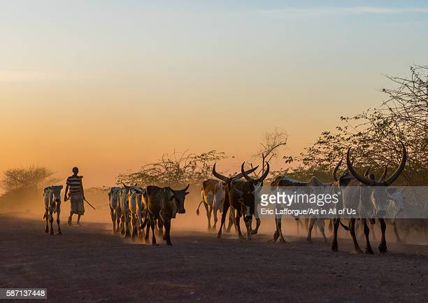 Afar tribe herder with his cows at sunset afar region afambo Ethiopia on March 1 2016 in Afambo Ethiopia