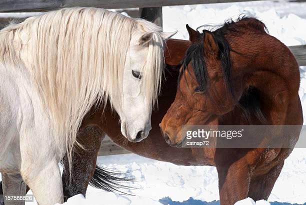 Affectionate Horses, Courtship Behavior in Arabian Breeding Pair