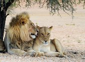Lion and Lioness (Panthera leo) snuggle affectionately in the shade of a Camelthorn, Kalahari desert, South Africa
