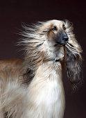 Afgan Hound with hair blowing, studio shot