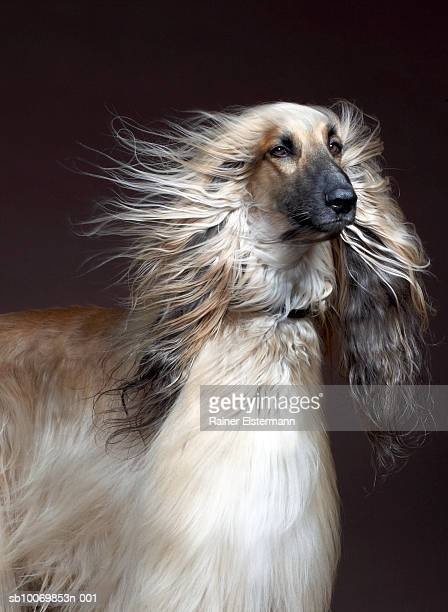 Afgan Hound with hair blowing, studio shot