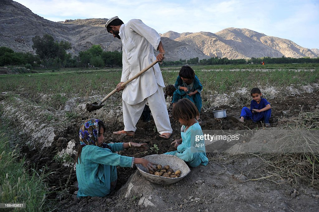 Afghan children work with their father in a potato farm on the outskirts of Jalalabad on May 9, 2013. Only about 15 percent of Afghanistan's land, mostly in scattered valleys, is suitable for farming with about 6 percent of the land actually cultivated with wheat being the most important crop. AFP PHOTO/Noorullah Shirzada