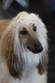 Afghan dog at the CACIB dog exhibition at the Exhibition Centre Nuernberg on January 14 2012 in Nuernberg Germany