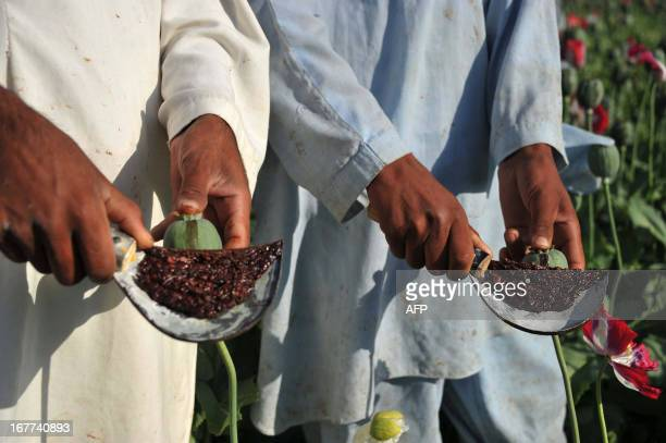 Afghan farmers collect raw opium as they work in their poppy field in Khogyani District of Nangarhar province on April 29 2013 Poppy cultivation is...