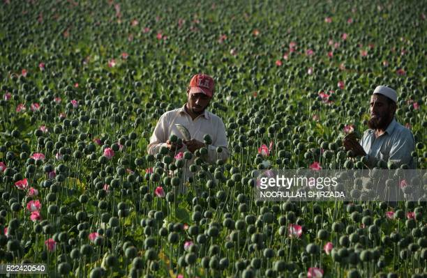 TOPSHOT Afghan farmers harvest opium sap from a poppy field in the Chaparhar district of Nangarhar province on April 19 2016 Opium poppy cultivation...
