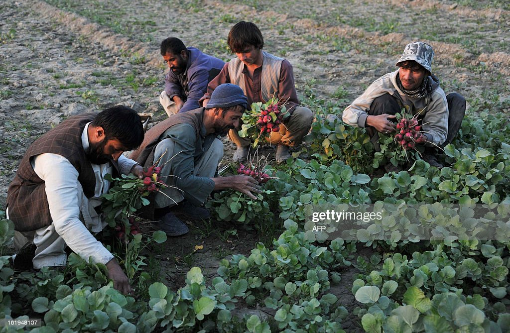 Afghan farmers work at a vegetable field in the outskirts of Jalalabad on February 17, 2013. The economy of Afghanistan can be categorised as poor and unstable as it lacks proper industrialisation, there is a lack of well-developed manufacturing and infrastructure facilities, and it is dependent on foreign aid and assistance. AFP PHOTO/ Noorullah Shirzada