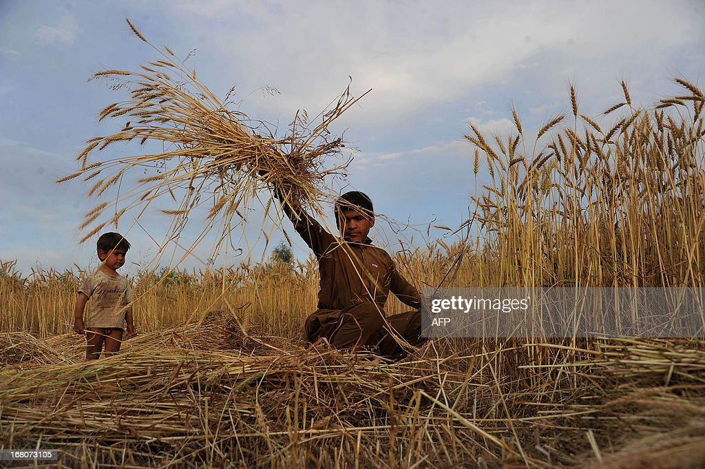Afghan farmers work in a wheat field on the outskirts of Jalalabad on May 4 2013. Only about 15 percent of Afghanistan's land, mostly in scattered valleys, is suitable for farming with about 6 percent of the land actually cultivated with wheat being the most important crop. AFP PHOTO/Noorullah Shirzada