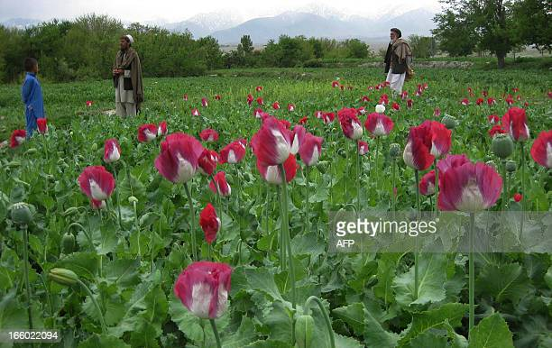 Afghan farmers work in their poppy field in the Khogyani district in eastern Nangarhar province on April 6 2013 Poppy cultivation is expected to...