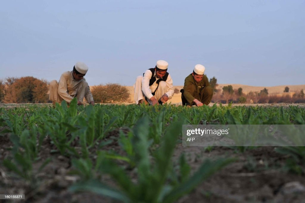 Afghan farmers work on their poppy field in Spin Ghar district in Nangarhar province near the Pakistani border on January 26, 2013. Poppy cultivation is expected to increase in both eastern and western provinces of the country, though will remain at a much lower level of cultivation as compared to Helmand and Kandahar provinces, the United Nations office on Drugs and Crimes (UNODC) said in its 2012 report. AFP PHOTO/ Noorullah Shirzada