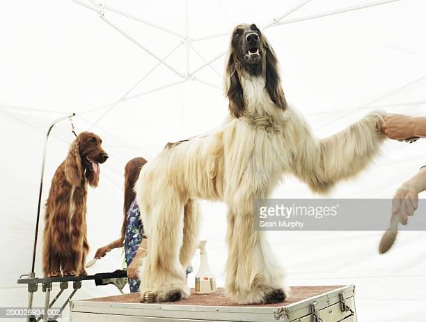 Afghan Hound and Irish Setter having coats brushed at dog show