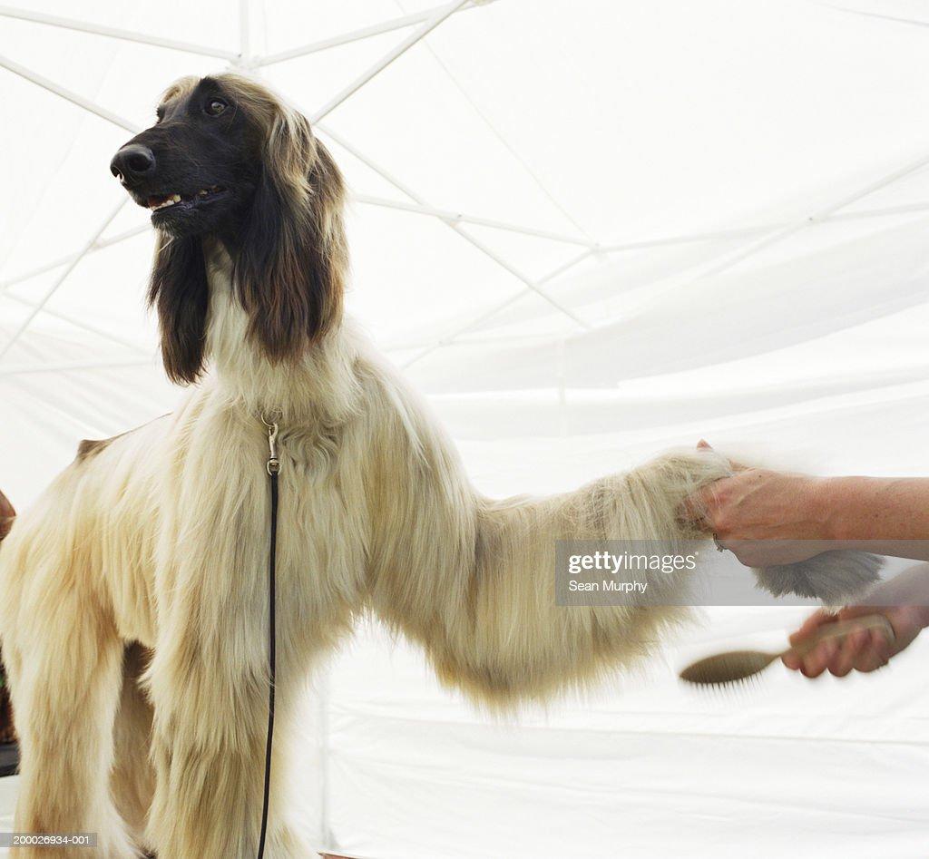 Afghan hound having coat brushed at dog show : Stock Photo