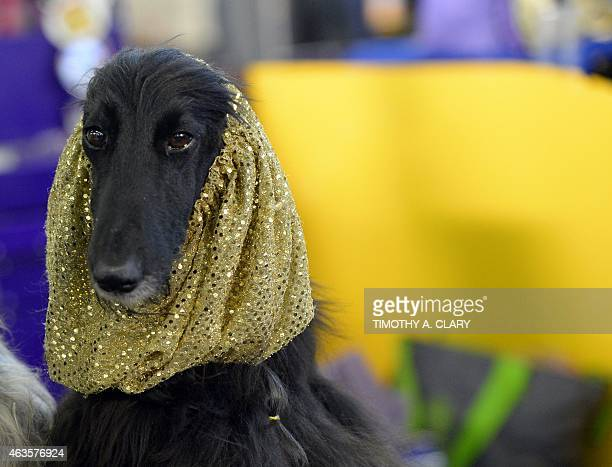 A Afghan Hound in the benching area at Pier 92 and 94 in New York City on the first day of competition at the 139th Annual Westminster Kennel Club...