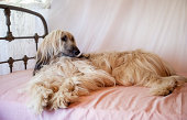 Afghan hound lying on a canopy bed