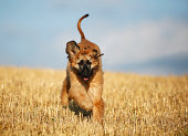 Afghan hound, puppy, running on stubble field