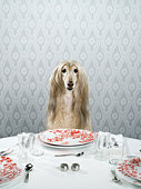 Afghan hound sitting at dinner table