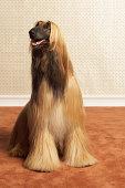 Afghan hound sitting in room