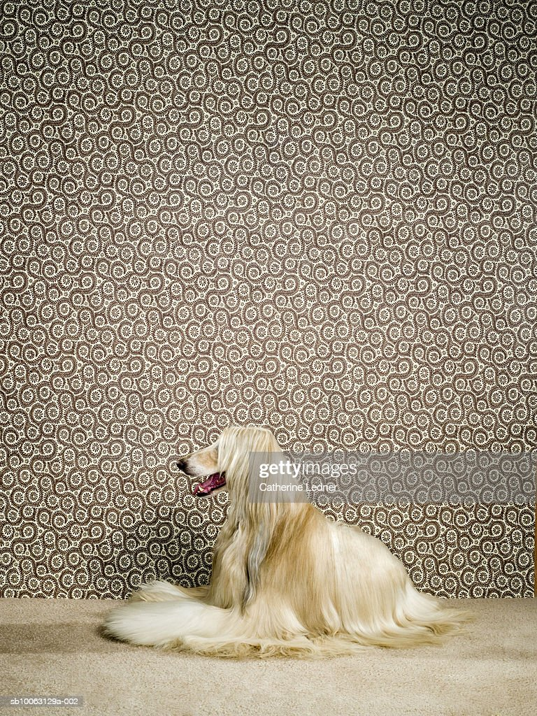 Afghan hound sitting on carpet, mouth open : Stock Photo