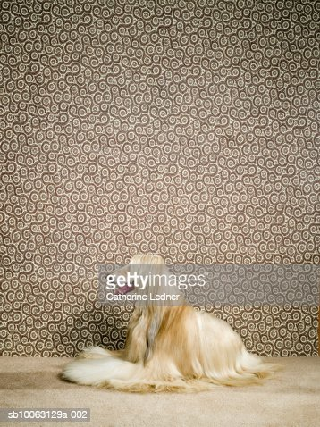 Afghan hound sitting on carpet, mouth open : Foto de stock