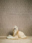 Afghan hound sitting on carpet