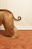 Afghan hound standing in room, end section