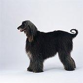 Afghan hound standing