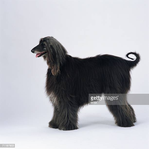 Afghan hound standing