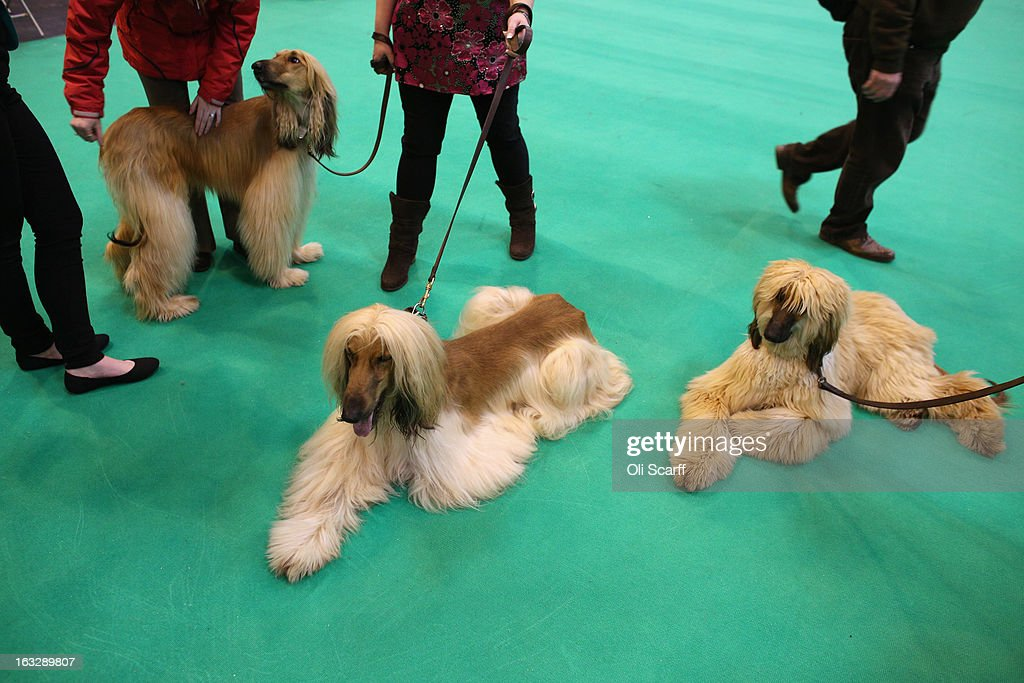 Afghan hounds relax after being shown on the first day of Crufts dog show at the NEC on March 7, 2013 in Birmingham, England. The four-day show features over 25,000 dogs, with competitors travelling from 41 countries to take part. Crufts, which was first held in1891, sees thousands of dogs vie for the coveted title of 'Best in Show'.