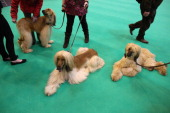 Afghan hounds relax after being shown on the first day of Crufts dog show at the NEC on March 7 2013 in Birmingham England The fourday show features...