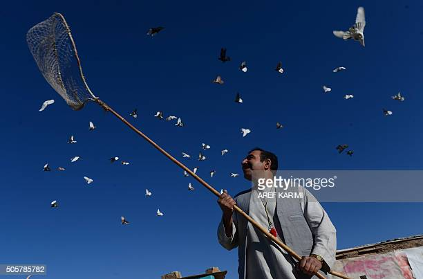 TOPSHOT Afghan man Nasir stands below his pigeons flying from the rooftop of his home in Herat on January 20 2016 AFP PHOTO / Aref Karimi / AFP /...