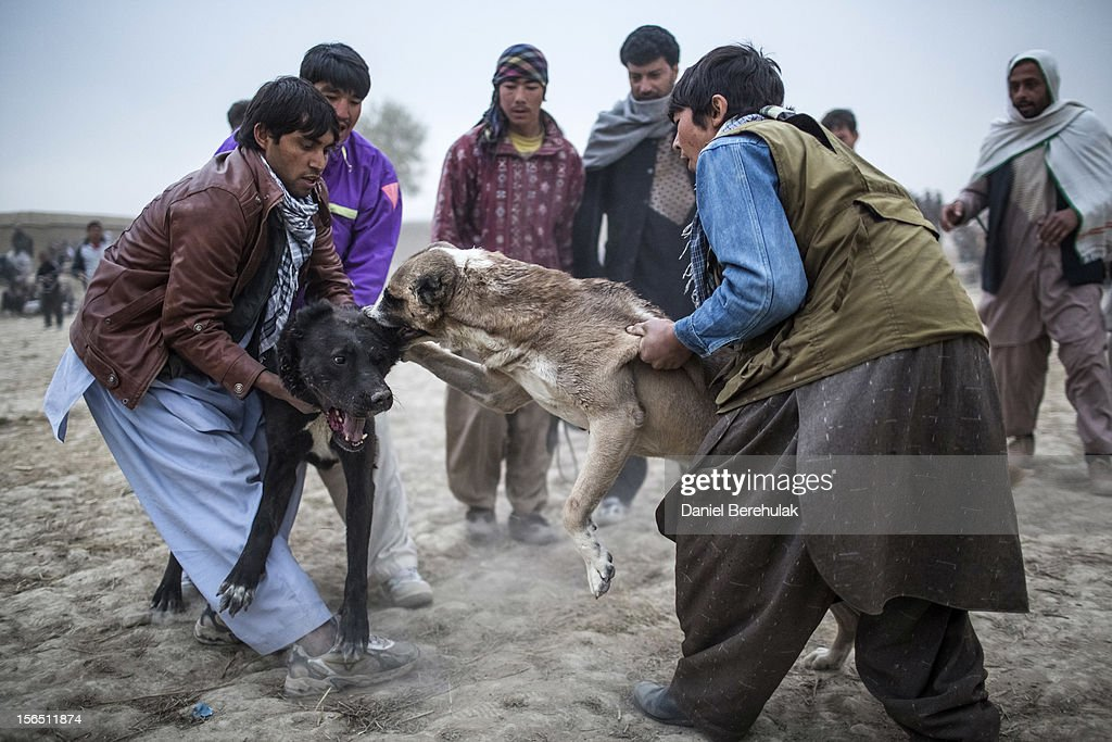 Afghan men pull apart two fighting mastiffs during the weekly dog fights on November 16, 2012 in Kabul, Afghanistan. Dog fighting was banned under the Taliban for being un-Islamic but it is now common practice.