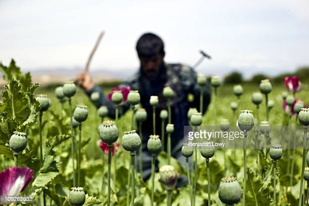 Afghan police and provincial security forces destroy poppy fields on April 25 2009 in the Nangarhar province of Afghanistan Though the government and...