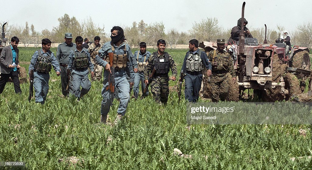 Afghan policeman advance on a field of opium plants as they tackle the crop on a farm on March 14, 2013, in Babaji village-Helmand Province ,south east Afghanistan. Most of the opium is chemically processed to produce herion, which ends up heading to either Iran, Russia and/or Europe. According to United Nations report, in 2012 there was an increase of 18 percent in cultivation of opium in Afghanistan; the world's largest source of the crop.