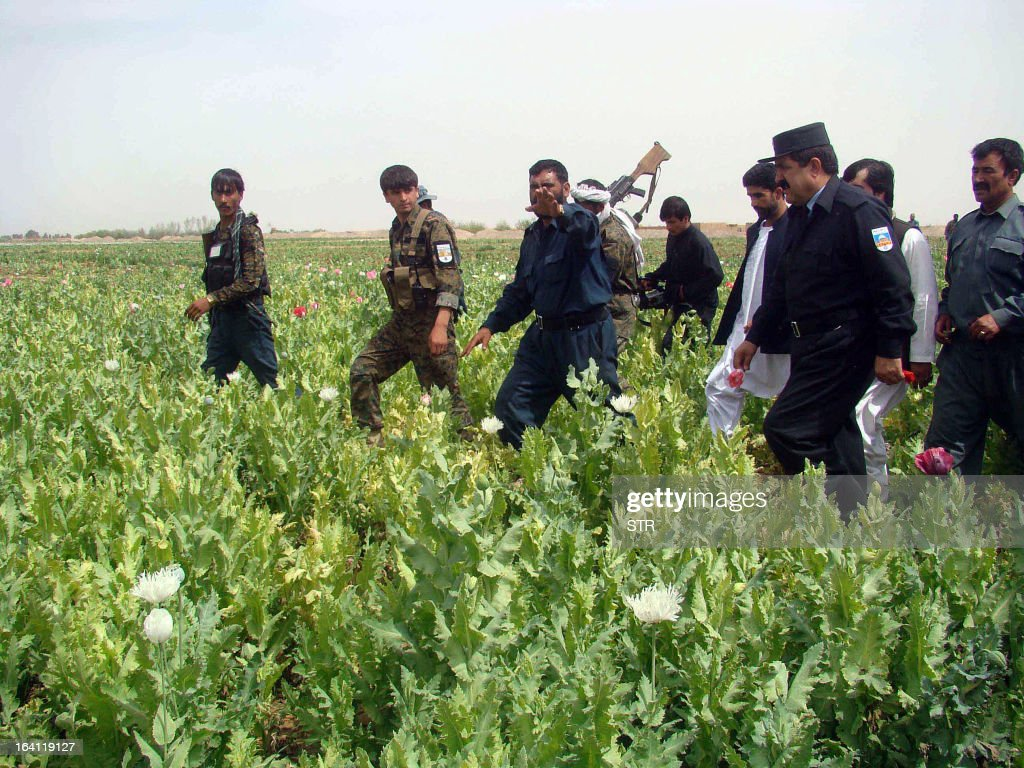 Afghan policemen destroys a poppy field in the Nad-e Ali district of Helmand province on March 20, 2013. Poppy cultivation is expected to increase in both eastern and western provinces of the country, though will remain at a much lower level of cultivation as compared to Helmand and Kandahar provinces, the United Nations office on Drugs and Crimes (UNODC) said in its 2012 report.