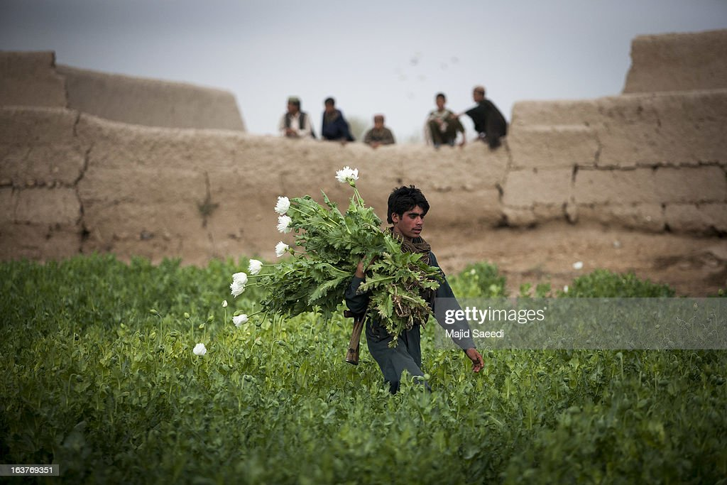 Afghan policemen gather opium poppies as they destroy the plants on a farm on March 14, 2013, in Babaji village-Helmand Province ,south east Afghanistan. Most of the opium is chemically processed to produce herion, which ends up heading to either Iran, Russia and/or Europe. According to United Nations report, in 2012 there was an increase of 18 percent in cultivation of opium in Afghanistan; the world's largest source of the crop.
