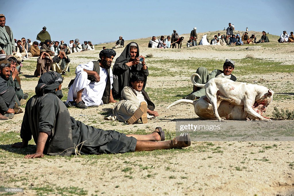 Afghan spectators look on as two fighting dogs attack each other during weekly dog fight matches on the outskirts of Kandahar on March 15, 2013. Dog fighting is held in vacant lots and though betting is done, matches are stopped as soon as one dog shows absolute domination. Dog fighting was banned during the Taliban regime. AFP PHOTO/ Jangir